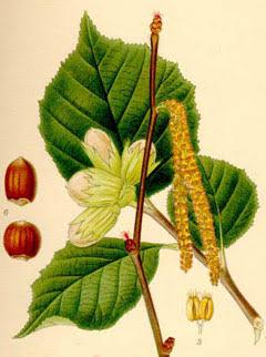 Φυσική Ταξόλη από τα φύλλα φουντουκιού